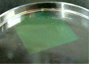 M13 바이러스로 만든 분리막(초록색)을 수면 위에 띄워 놓은 모습. - 유필진 성균관대 교수 제공